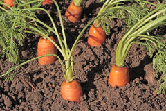 Fresh organic carrots in the garden Stock Photography