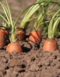 Fresh organic carrots in the garden Royalty Free Stock Photography
