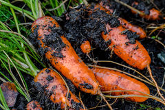 Fresh organic carrots right out of the ground. Organic gardening at its finest. Royalty Free Stock Photos