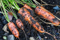 Fresh organic carrots right out of the ground. Organic gardening at its finest. Stock Image