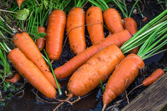 Fresh organic carrots right out of the ground. Organic gardening at its finest. Royalty Free Stock Photo