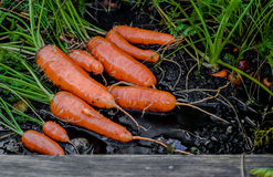 Fresh organic carrots right out of the ground. Organic gardening at its finest. Royalty Free Stock Image