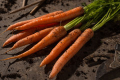 Fresh organic carrots. Vegetable garden's fresh organic carrots bio Stock Images