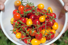 Fresh Organic Cherry Tomatoes Royalty Free Stock Photo