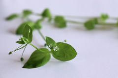 Fresh organic chickweed on white background. Young taste very gently with flavor of nuts. You can use them in fresh. Fresh organic chickweed on white background stock photography
