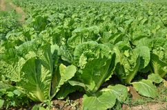 Fresh organic chinese cabbage field crop, cultivation farm, soil culture. Fresh organic green leaf chinese cabbage field crop, cultivation farm, soil culture stock image