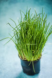 Fresh organic chive in pot. Growing on kitchen table royalty free stock image