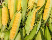 Fresh organic corn Royalty Free Stock Image