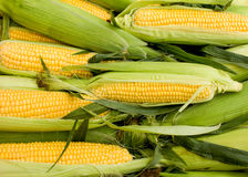 Fresh organic corn on cob Royalty Free Stock Image