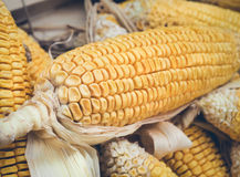 Fresh organic corn on cobs Royalty Free Stock Images