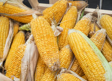 Fresh organic corn on cobs Stock Images