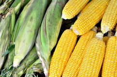 Fresh organic corn Stock Photography