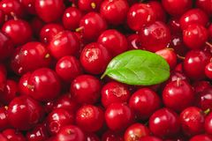 Fresh organic cranberries with green leaf over it - close up studio shot. Fresh juicy organic cranberries with green leaf over it - close up studio shot Royalty Free Stock Photography