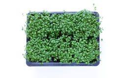 Fresh organic cress salad. Fresh organic green cress salad Royalty Free Stock Photography