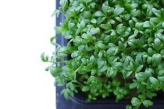Fresh organic cress salad. Fresh organic green cress salad Stock Photography