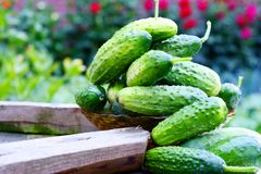 Fresh organic cucumbers Stock Photo