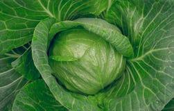 Fresh organic food. Head of green cabbage Stock Photos