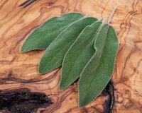 Fresh Organic Garden or Common Sage Salvia officinalis leaves on natural wood. Lamiaceae mint family. Fresh Organic Garden or Common Sage Salvia officinalis stock images