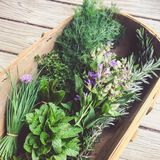 Fresh organic garden herbs: chives, mint, kaffir lime leaves, th. Rustic image of fresh organic garden herbs: chives, mint, kaffir lime leaves, thyme, flowering stock images