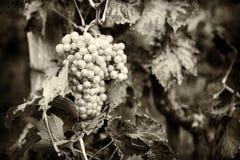 Fresh organic grape on vine branch Royalty Free Stock Photography