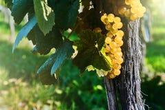 Fresh organic grape on vine branch Stock Photography