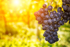 Fresh organic grape on vine branch Royalty Free Stock Images