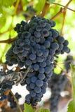 Fresh Organic Grapes in a Vineyard Stock Photos