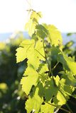 Vineyards in Europe! Vineyard close up front cover or billboard. Fresh organic green grape leaves shown on a vine of a famous winery. It`s all about the stock photos