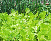 Fresh organic green lettuce growing in the garden. Stock Image