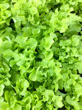 Fresh organic green oak leaf lettuce salad vegetable farm. raw healthy veggies natural food background. top view Stock Images