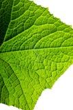 Fresh organic green plant leaf cucumber macro close-up backgroun Stock Photos