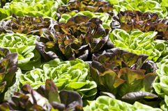 Fresh organic green and purple lettuces Stock Image