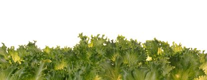 Fresh organic green vegetable leaf on white Royalty Free Stock Photos