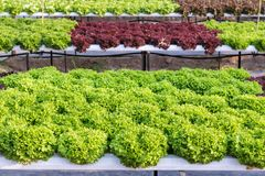 Fresh organic green vegetables salad in hydroponics greenhouse farm for health food and agriculture concept design. Hydroponics is a non soil plant Royalty Free Stock Images