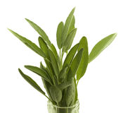 Fresh organic herb sage Royalty Free Stock Photography