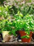 Fresh organic herbs in flowerpots Stock Image