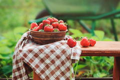 Fresh organic home growth strawberries on wooden table in summer garden Royalty Free Stock Images