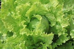 Fresh organic Iceberg Lettuce stock photography