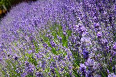 Fresh organic lavender flowers Stock Images
