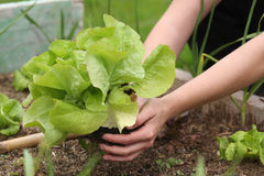 Fresh organic lettuce Stock Image