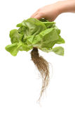 Fresh organic lettuce Royalty Free Stock Photography