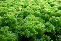 Fresh organic lettuce vegetables Royalty Free Stock Photography
