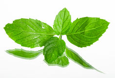 Fresh organic mint leaves. Royalty Free Stock Images