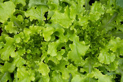Fresh organic mixed lettuce  high angle view Stock Image