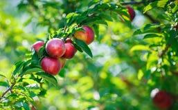Free Fresh Organic Nectarines On The Tree. Ripe Nectarines. Stock Photography - 96373902