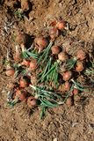Fresh organic onions in the soil, harvest time Royalty Free Stock Image