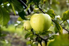 Fresh organic orchard full of riped green apples before harvest royalty free stock photography