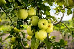 Fresh organic orchard full of riped green apples before harvest stock photo