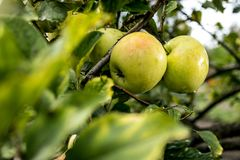 Fresh organic orchard full of riped green apples before harvest stock images
