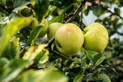 Fresh organic orchard full of riped green apples before harvest stock photos